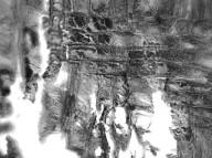 ANACARDIACEAE Pistacia mexicana