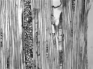 ANNONACEAE Monocarpia marginalis