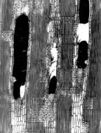 LEGUMINOSAE DETARIOIDEAE Tamarindus indica