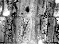 LACISTEMETACEAE Lacistema aggregatum