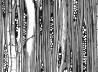 LAURACEAE Cinnamomum bejolghota