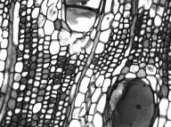 HERNANDIACEAE Hazomalania voyronii
