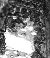 CALOPHYLLACEAE Caraipa densifolia