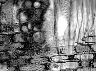 HYPERICACEAE Harungana madagascariensis