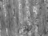 LEGUMINOSAE PAPILIONOIDEAE Baphia nitida