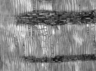 LEGUMINOSAE MIMOSOIDEAE Acacia pubescens
