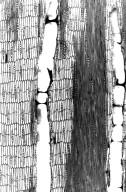 LEGUMINOSAE PAPILIONOIDEAE Millettia richardiana