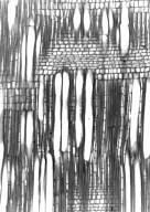 PASSIFLORACEAE Arboa antsingyae