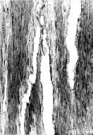 LEGUMINOSAE CAESALPINIOIDEAE Mimosoid Clade Mimosa grandidieri