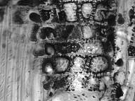 MELASTOMATACEAE Bellucia grossularioides