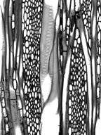 CORNACEAE Mastixia kaniensis