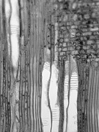 SABIACEAE Meliosma sinuata