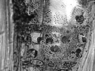 LEGUMINOSAE CAESALPINIOIDEAE Elizabetha princeps