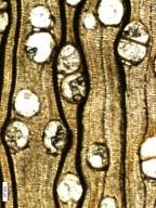 BURSERACEAE Burseroxylon preserratum