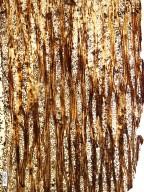ANACARDIACEAE Dracontomeloxylon palaeomangiferum