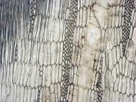LEGUMINOSAE PAPILIONOIDEAE Erythrina crista-galli