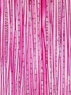 ELAEOCARPACEAE Elaeocarpus serratus
