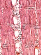 ASTEROPEIACEAE Asteropeia rhopaloides