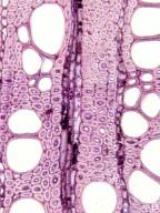 SALICACEAE Laetia micrantha