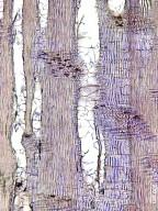LEGUMINOSAE PAPILIONOIDEAE Robinia viscosa