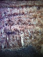 MALPIGHIACEAE Stigmaphyllon bonariense