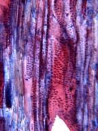 MALPIGHIACEAE Stigmaphyllon ciliatum