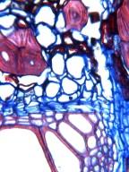 MALPIGHIACEAE Stigmaphyllon lalandianum
