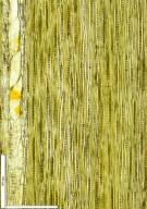 LEGUMINOSAE DETARIOIDEAE Brachystegia laurentii