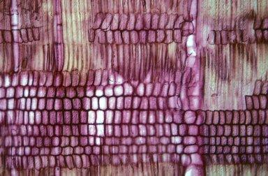 PHYSENACEAE Physena madagascariensis