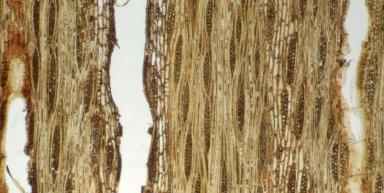 LEGUMINOSAE DETARIOIDEAE Afzelia xylocarpa