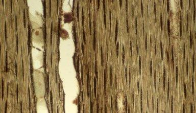 LEGUMINOSAE DETARIOIDEAE Paramacrolobium coeruleum