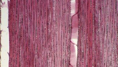 EUPHORBIACEAE Macaranga spinosa