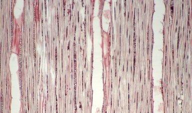 HYPERICACEAE Vismia confertiflora