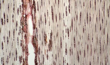 LEGUMINOSAE CAESALPINIOIDEAE Mimosoid Clade Inga alba