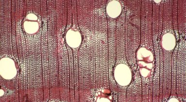 LEGUMINOSAE CAESALPINIOIDEAE Mimosoid Clade Inga heterophylla