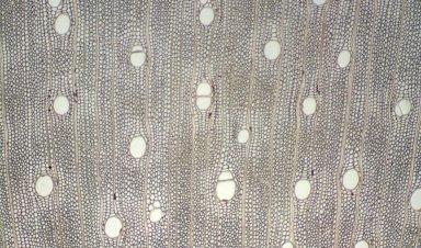 LEGUMINOSAE CAESALPINIOIDEAE Mimosoid Clade Inga lentiscifolia