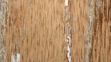 LEGUMINOSAE CAESALPINIOIDEAE Mimosoid Clade Zygia collina