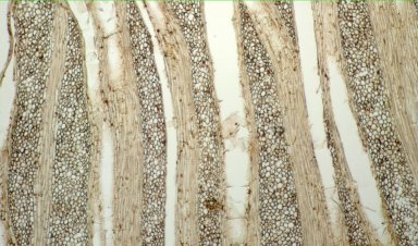 MENISPERMACEAE Tiliacora funifera