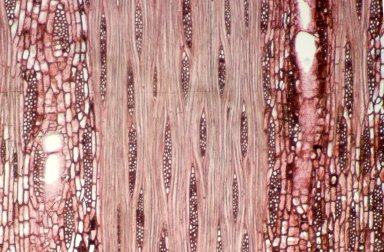 LEGUMINOSAE PAPILIONOIDEAE Andira surinamensis