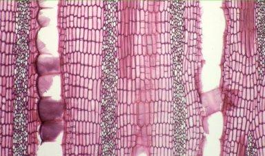 LEGUMINOSAE PAPILIONOIDEAE Erythrina rubrinervia
