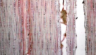 LEGUMINOSAE PAPILIONOIDEAE Acosmium praeclarum