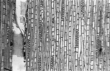SALICACEAE Casearia aculeata