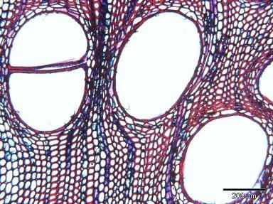 MARCGRAVIACEAE Norantea goyasensis