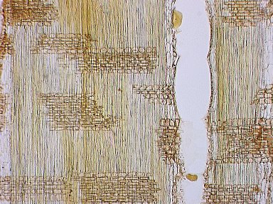 LEGUMINOSAE DETARIOIDEAE Didelotia idae