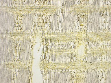 LEGUMINOSAE DIALIOIDEAE Distemonanthus benthamianus