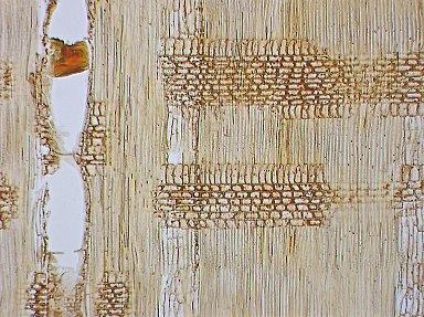 LEGUMINOSAE DETARIOIDEAE Gilbertiodendron dewevrei