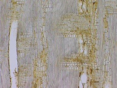 MORACEAE Maquira sclerophylla