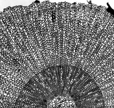 STILBACEAE Eurylobium serratum