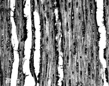 ANACARDIACEAE Sclerocarya birrea