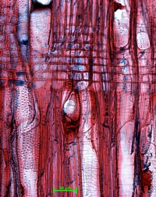 ROSACEAE Prunus avium
